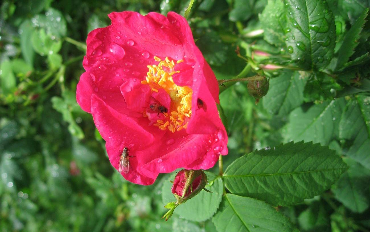 Ruusu ja kärpäset ALL 020